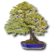 Carpinus betulus 1